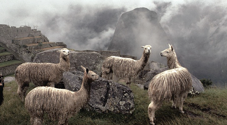 Llamas in the misty mountains of the Andes